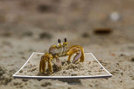 Sand Crab Coming Out Party