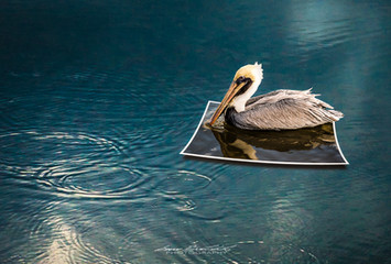 Pelican Floating Out of Print