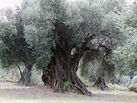 olive three.jpg