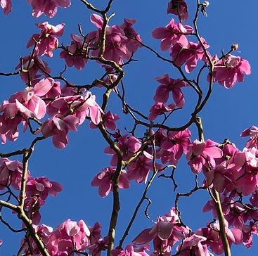 magnolia 2.jpeg