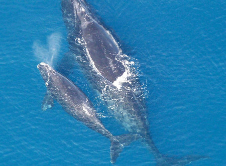 The right whale to save
