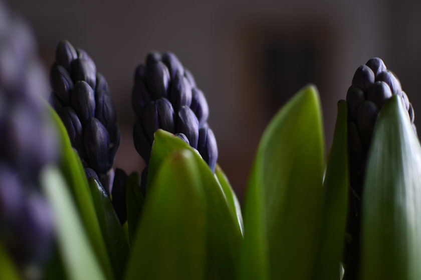 Hyacinth bud.jpg