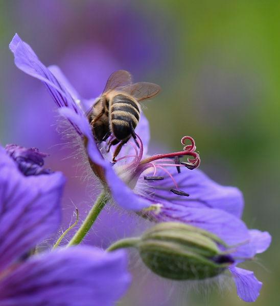 beautiful bee.jpeg