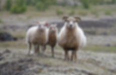 we three sheepjpeg.jpeg