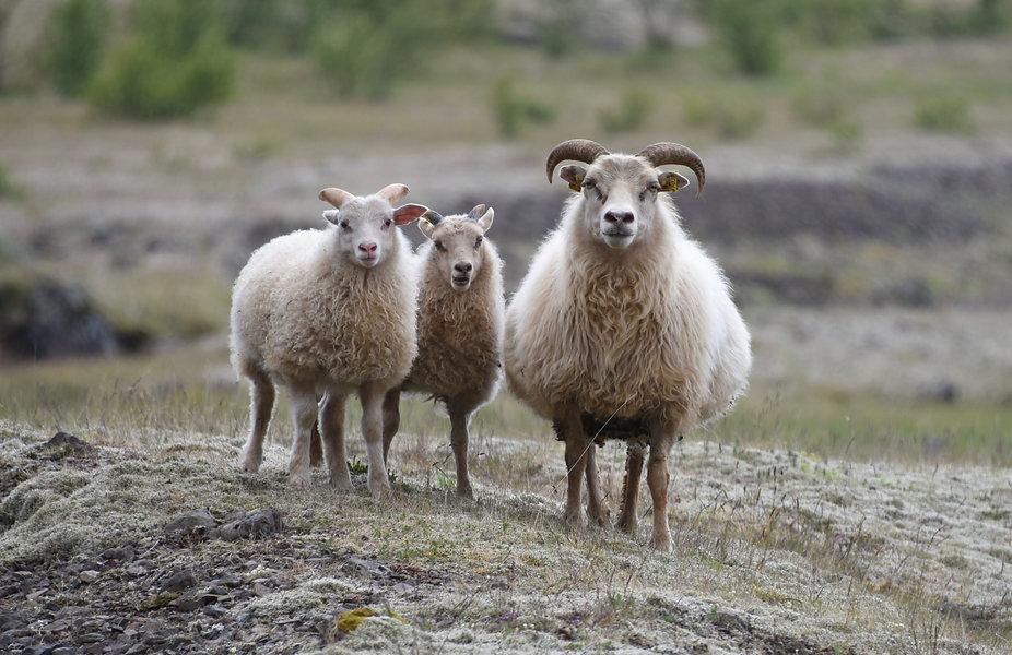 we three sheepjpeg.jpeg