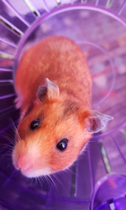 Sunny - Sweetest Hamster EVER