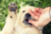 Golden Retriever Puppy Biting