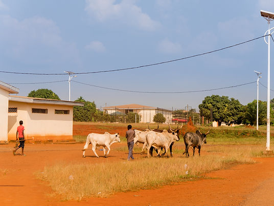 Cameroonian boy chases cows in field