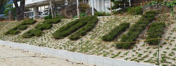 福島県相馬市玉野地区「玉野小・中学校」 倒壊した生け垣の植栽
