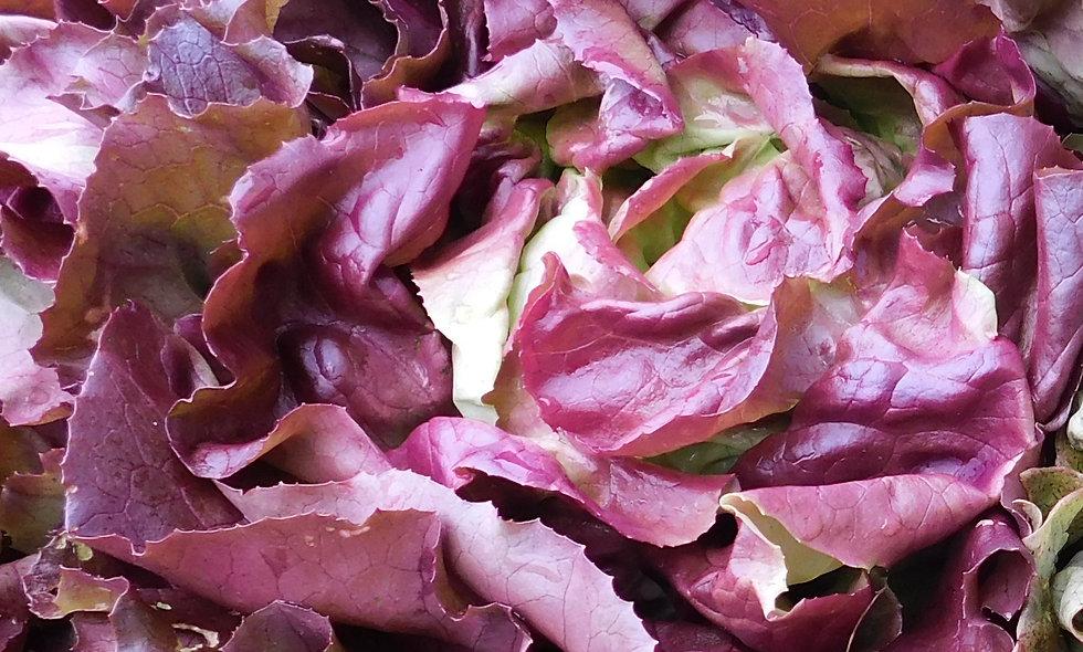 Skyphos Butterhead Lettuce