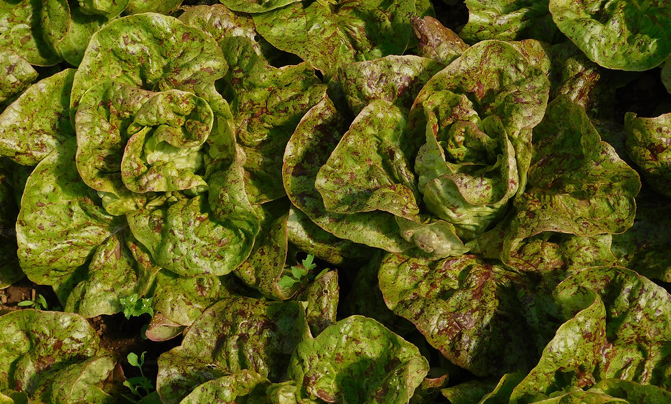 Amish Speckled Butterhead Lettuce