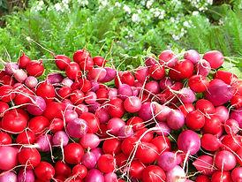 radishs.jpg