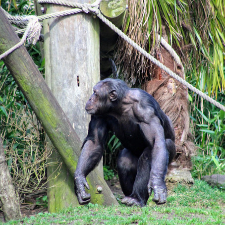 Budongo Trail at Edinburgh Zoo: Chimpanzee Conservation, Research, and Fun