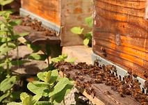 abelhas.png