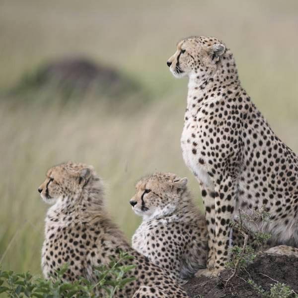 En 2018, une nouvelle espèce a rejoint le ZooParc de Beauval : le guépard. © ZooParc de Beauval