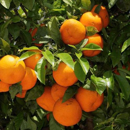 Seville Oranges per Kilo
