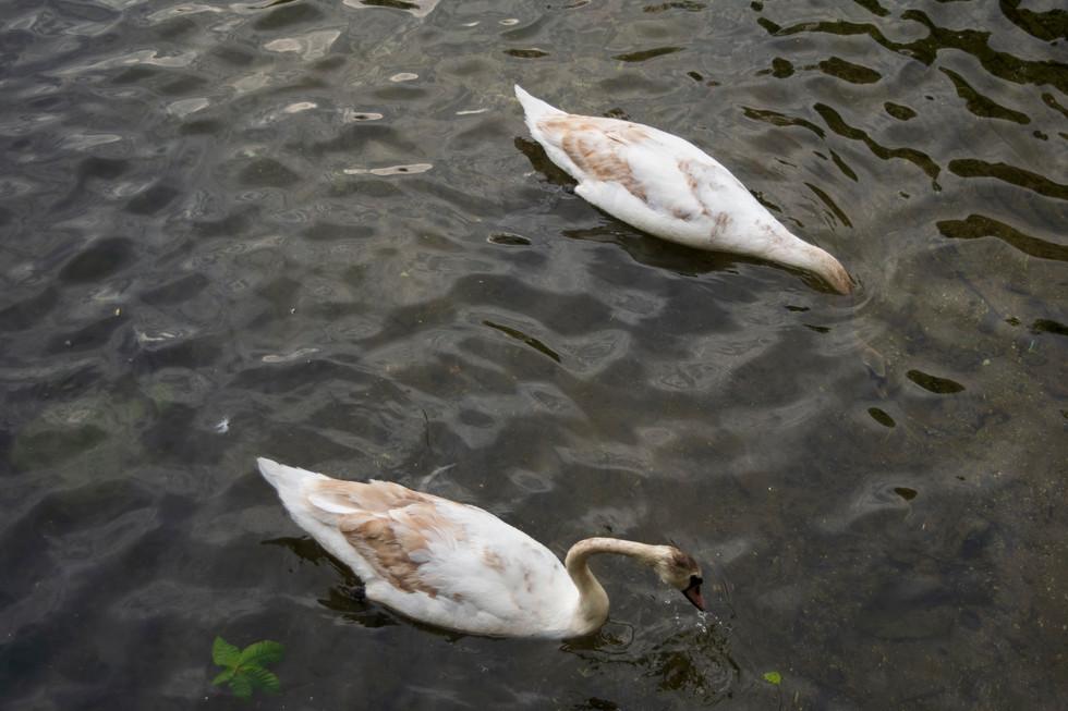 Hague Swans.jpg