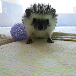MICHIGAN HEDGEHOGS FOR SALE