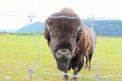 Portrait of a Bison