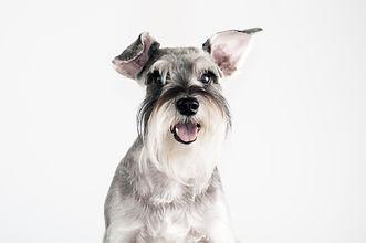 Happy, cute, funny dog Schnauzer isolated on white background. .jpg