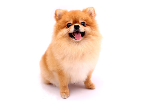 Pomeranian dog on a white background..jpg