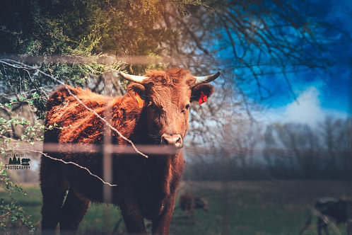 Missouri Cow 2
