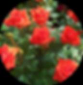 Бордюрные,спрэй розы