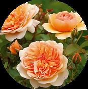 Анлийские розы