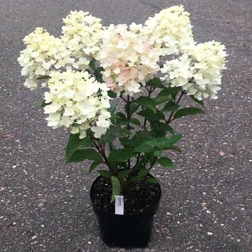 Гортензия метельчатая Литл Блоссом (Little Blossom) 2-3 ветки