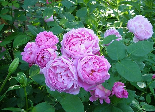 Мэри Роуз (Mary Rose)
