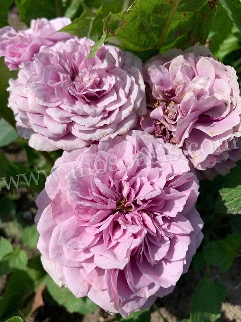 Лавендер Айс (Lavender Ice)