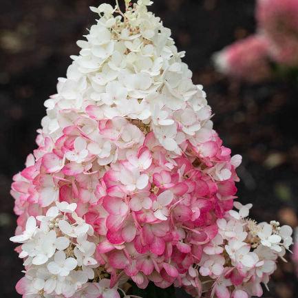 Гортензия метельчатая Строберри Блоссом (Strawberry blossom) 2-3 ветки