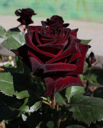 Блэк Баккара (Black Baccara)