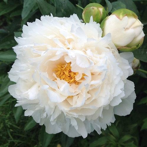Гардения (Gardenia) 2-3 почки