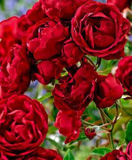 Ред Парфюм (Red Parfum)