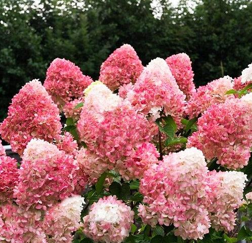 Гортензия метельчатая Пинк энд Роуз (Pink and Rose) 2-3 ветки