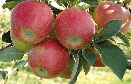 Яблоня Орловское
