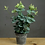 Thumbnail: Artificial Eucalyptus In Tin Pot
