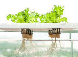 hydroponic.jpg