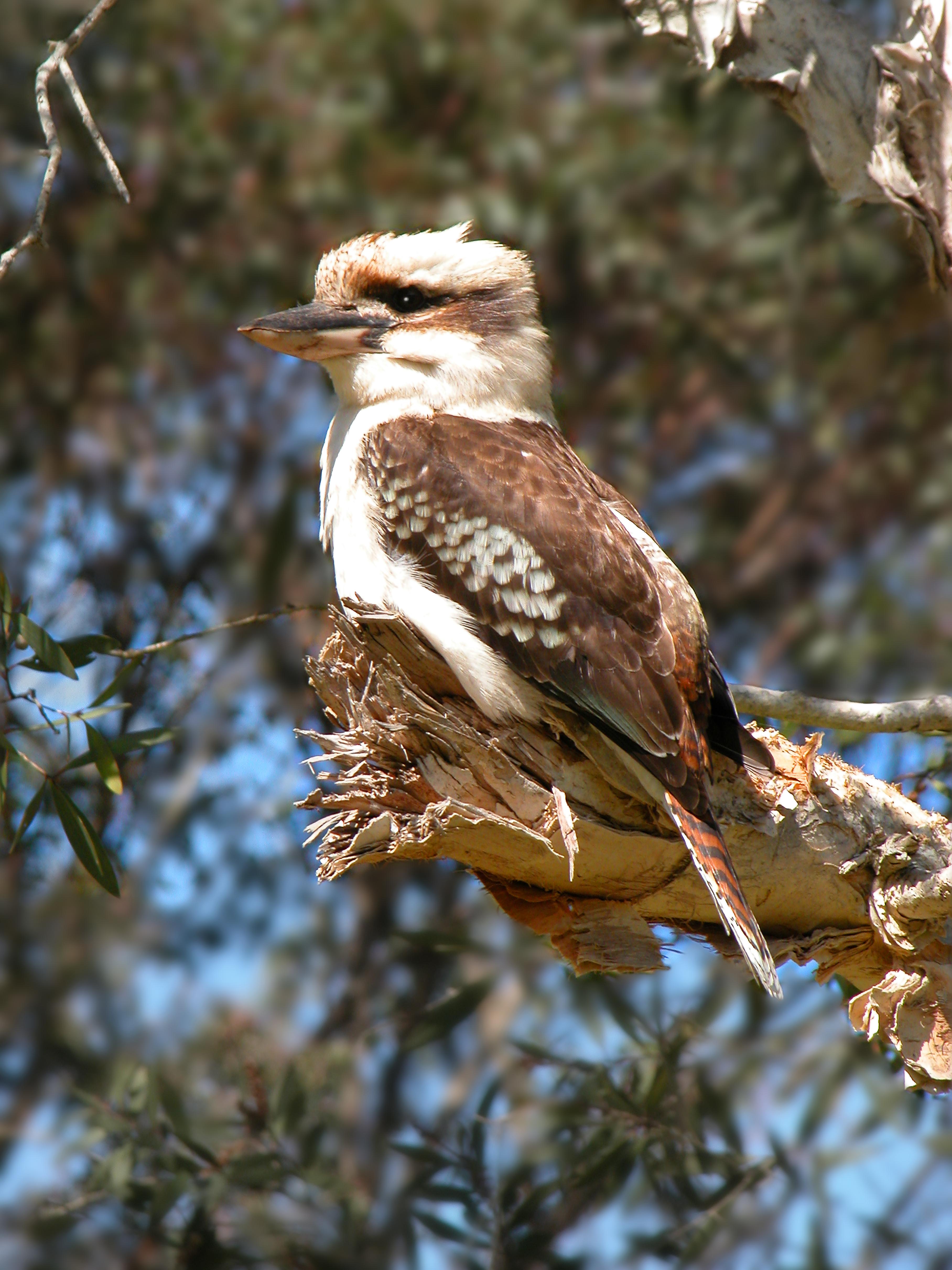 A20 Kookaburra