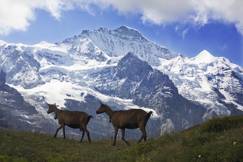 S7 Jungfrau goats