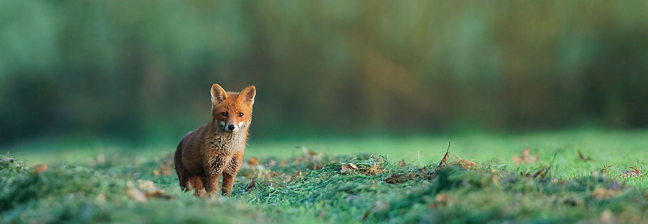 Renard Adrien Favre - Latitudes Animales