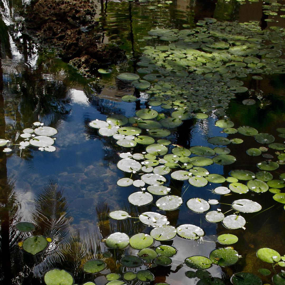 Hawaiian Pond Reflection