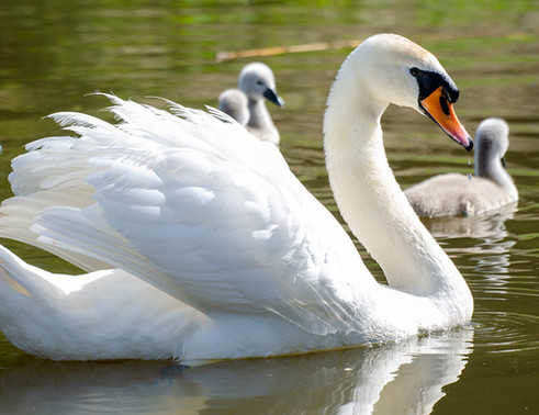 Mummy swan