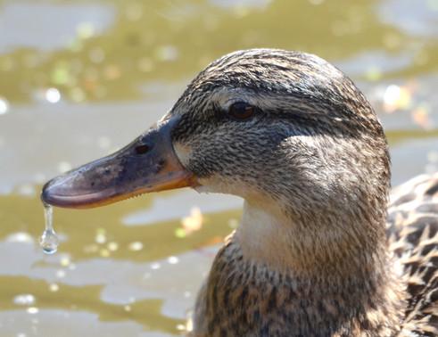 Mummy duck