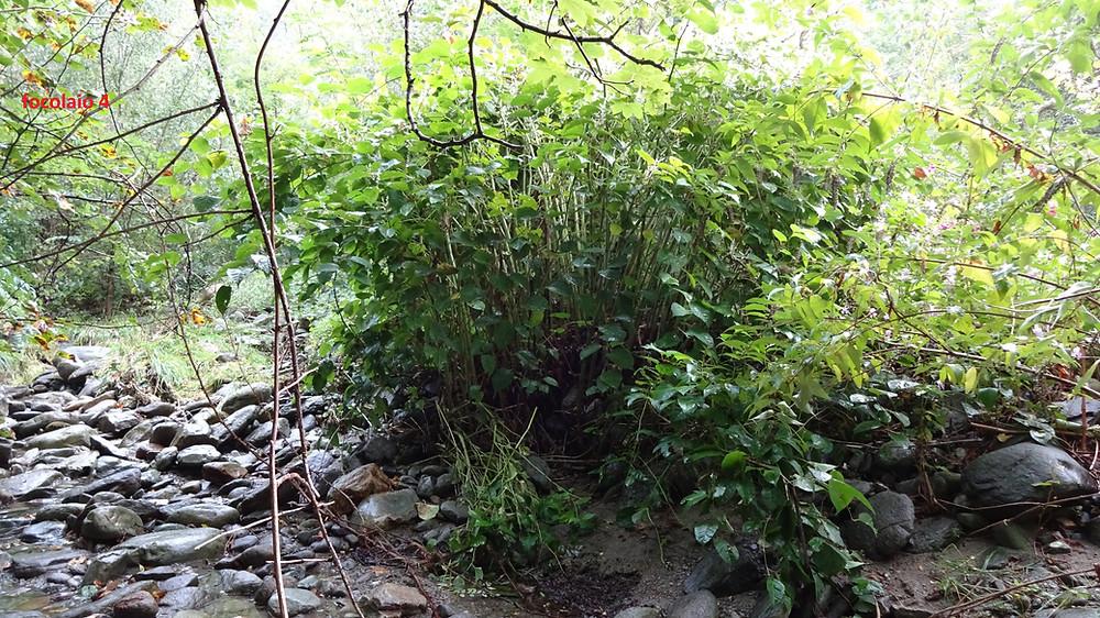 Focolaio di Poligono del Giappone a Sigirino sul fiume Vedeggio