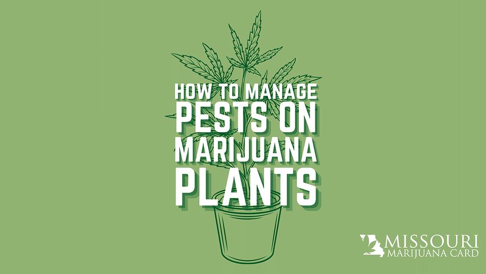 How to manage pests on marijuana plants in Missouri