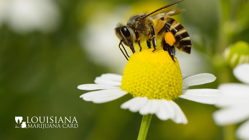 honeybee pollinating daisy