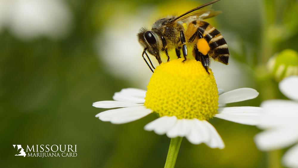 Bee pollinating daffodil