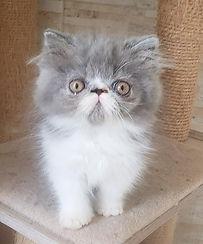 gato-gatil-rj-filhote-melhor-persa-bicol
